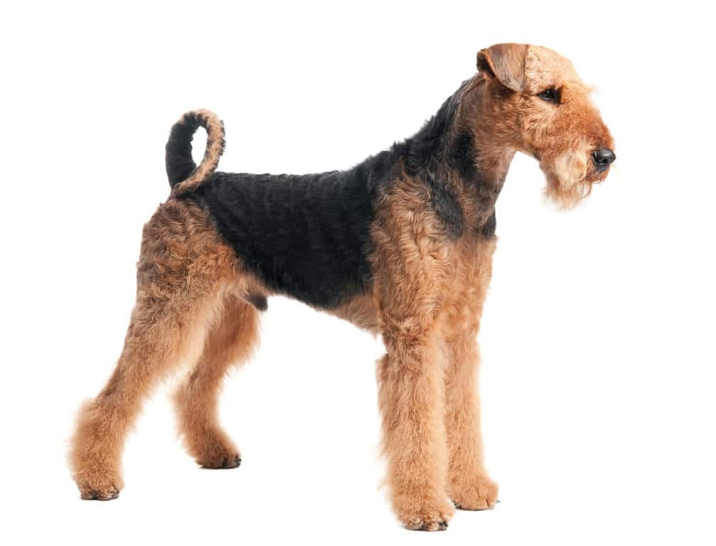 Airedale Terrier - Big Dogs that Dont Shed