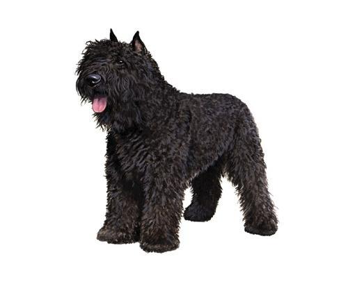 Bouvier des Flandres - Big Dog Breeds that dont shed