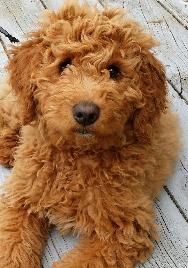 Top 30 Dogs that Don't Shed: Small, Medium, and Large ...
