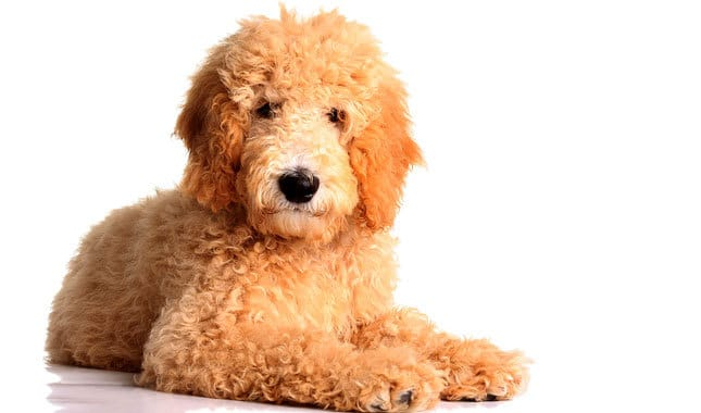 Top 30 Dogs That Don T Shed Small Medium And Large Breeds Pet Territory