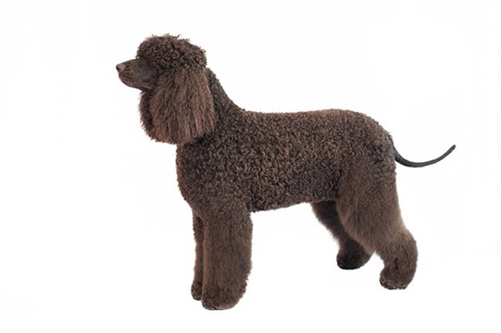Irish Water Spaniel - Large Dogs that dont shed