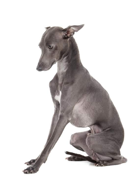 Italian Greyhound - A Small Breed that Doesnt Shed