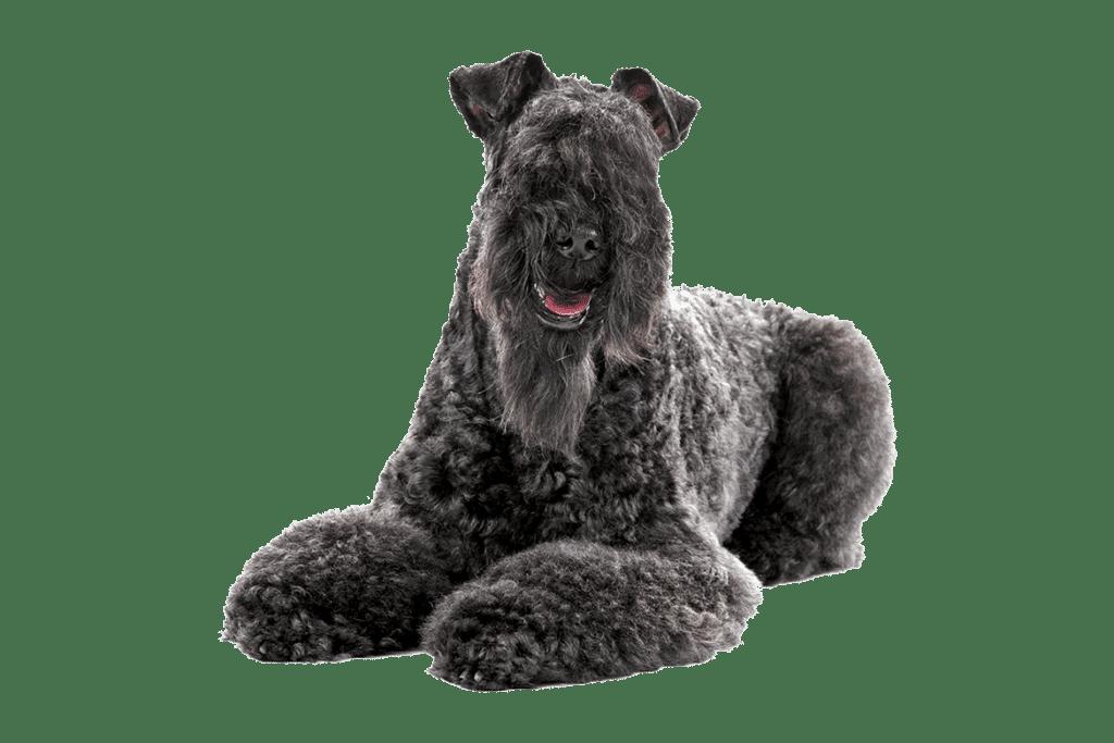 Kerry Blue Terrier A Medium Sized Dog