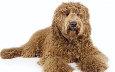 Medium Sized Breed Dogs Non Shedding