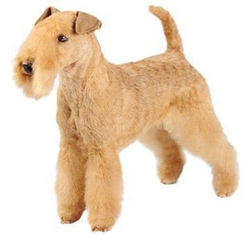 Lakeland Terrier - Small Dogs that Don't Shed