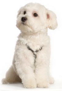 Maltese - Small Dogs that Don't Shed