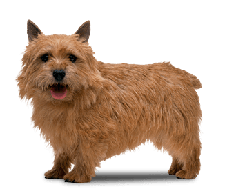 Norwich Terrier - Small Dogs that Don't Shed