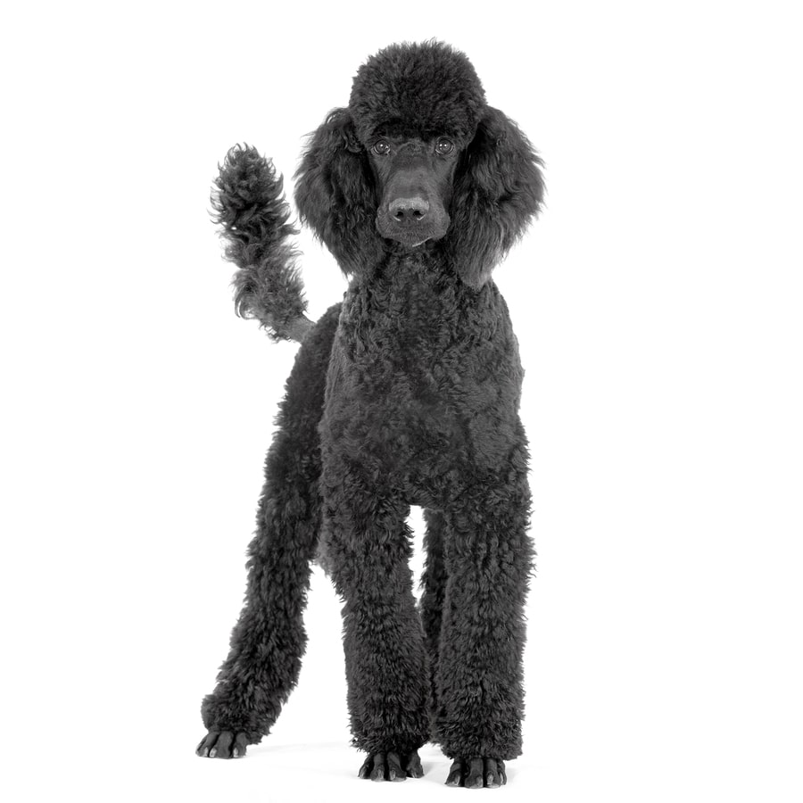 Poodle Standard Size - Large Breeds that Dont Shed