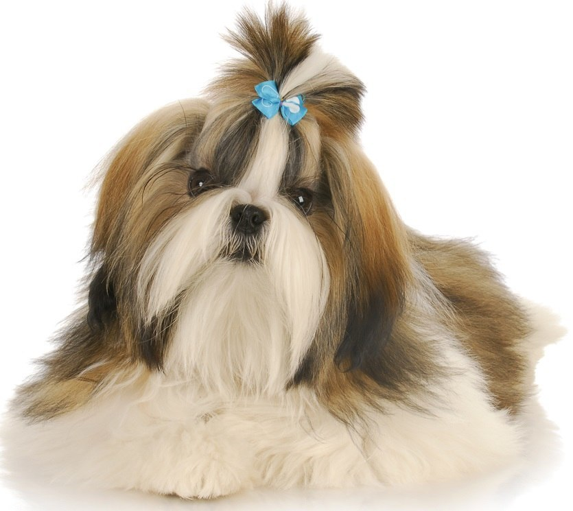 Shih Tzu - Small Dogs that Don't Shed