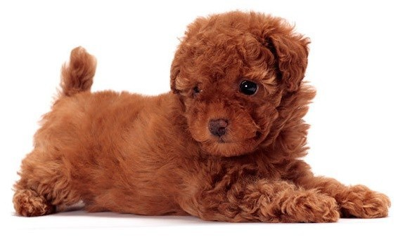 Toy Poodle - Small Dogs that Don't Shed