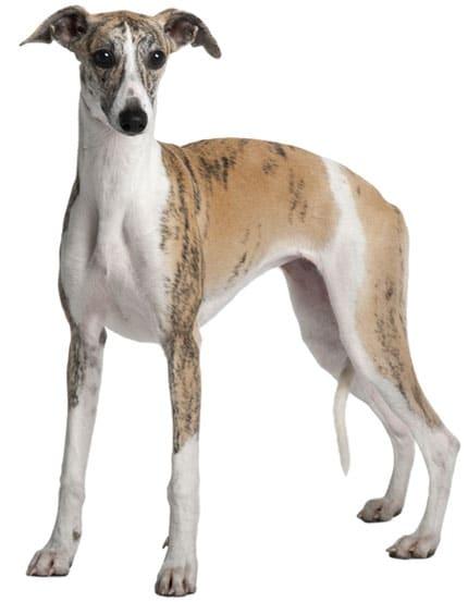 Whippet - Medium Sized Dog Breed