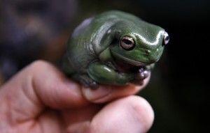 A Pet Frog - Healthy Frog