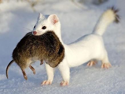 Ferret with Rat - Best Ferret Food