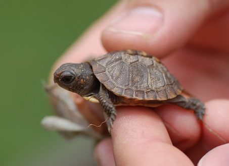 Turtles that Stay Small: Finding the Perfect Pet Turtle Pet ...