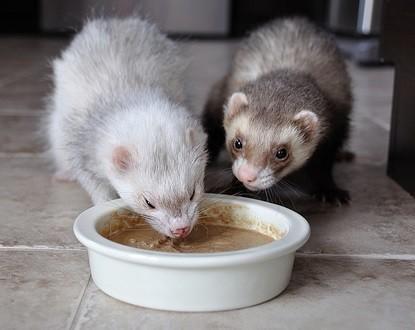 Two Ferrets Eating - Best Ferret Food