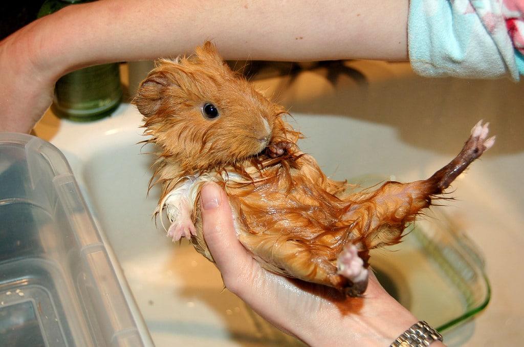 do you bathe guinea pigs