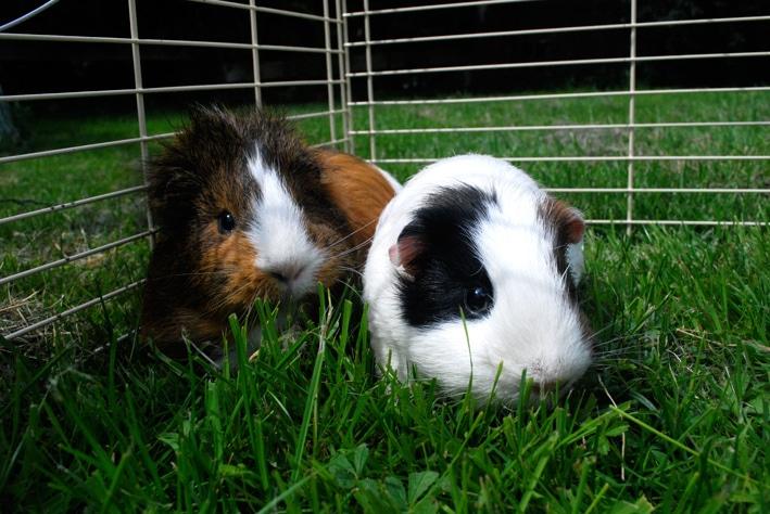 Guinea Pig Care: How to Care for a Guinea Pig