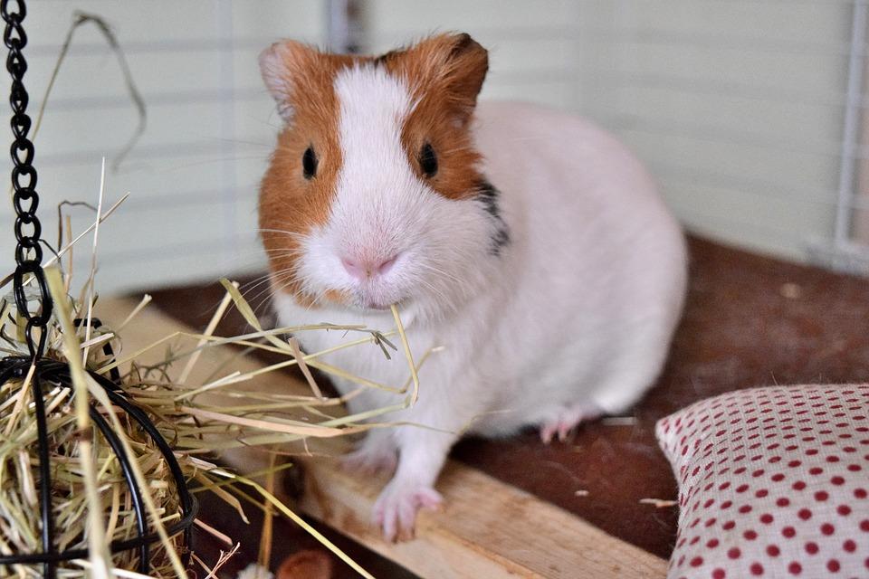 guinea pig timothy hay