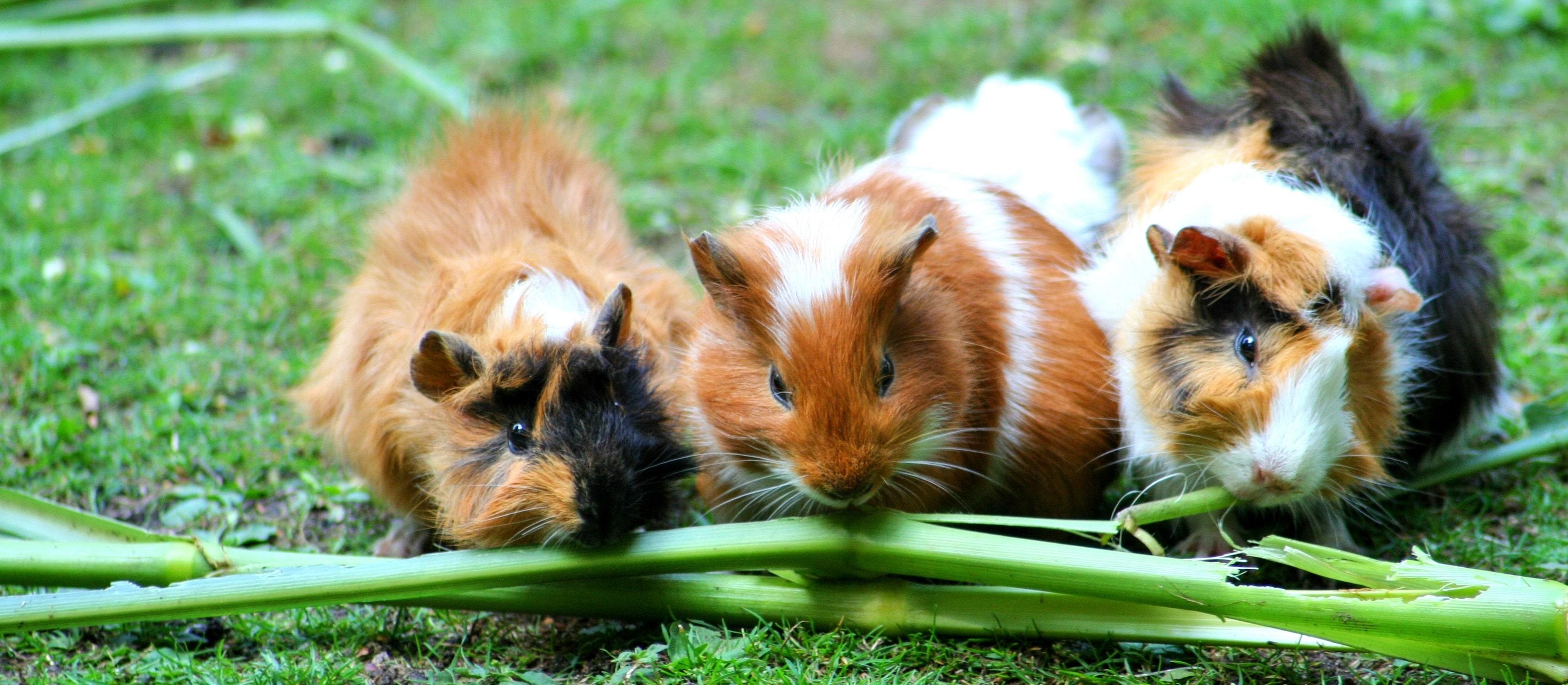 how to care for a guinea pig