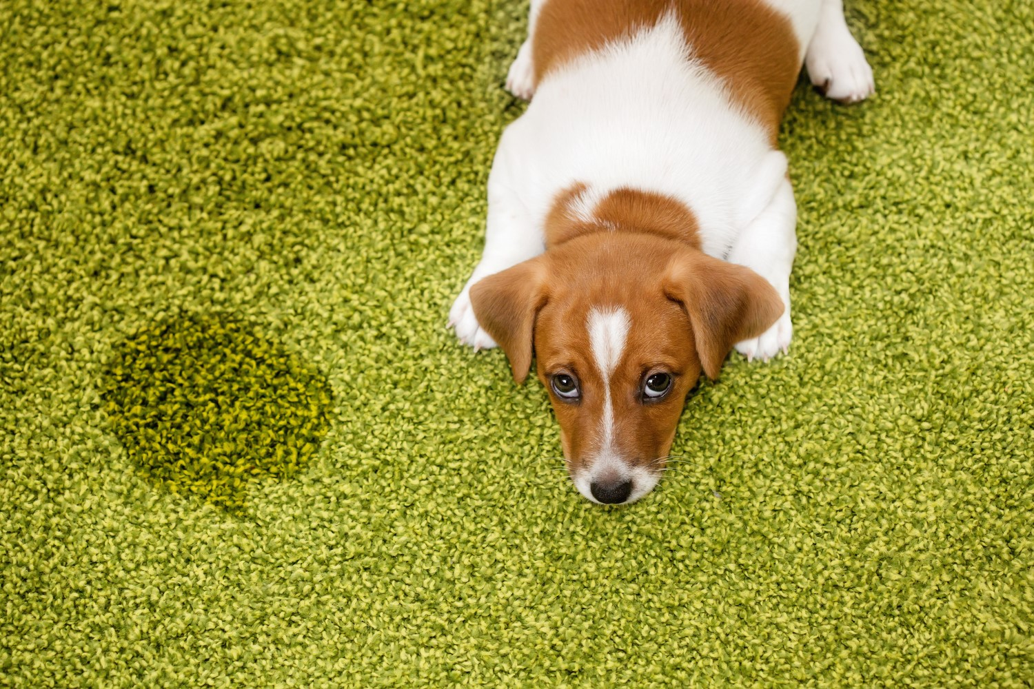 10 Best Carpet Cleaners For Pets