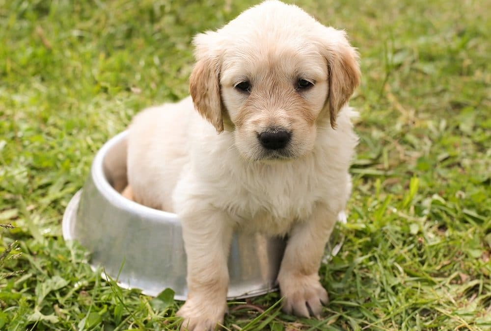 Top 10 Picks for the Best Dog Food for Golden Retrievers in 2021