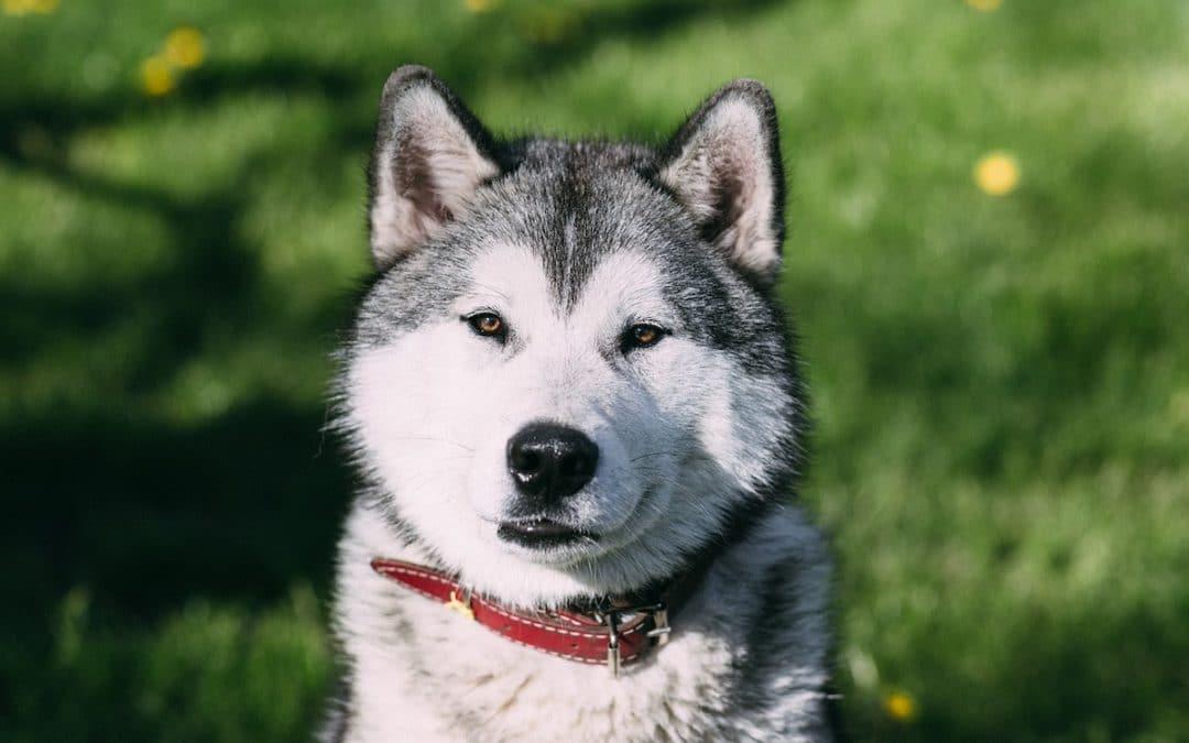 Best Dog Food for Huskies in 2021