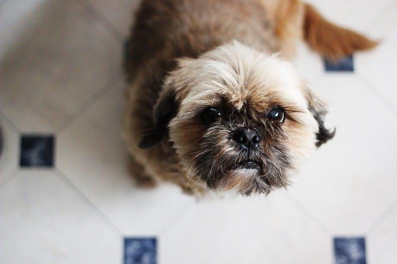 best dog food for shih tzus-min