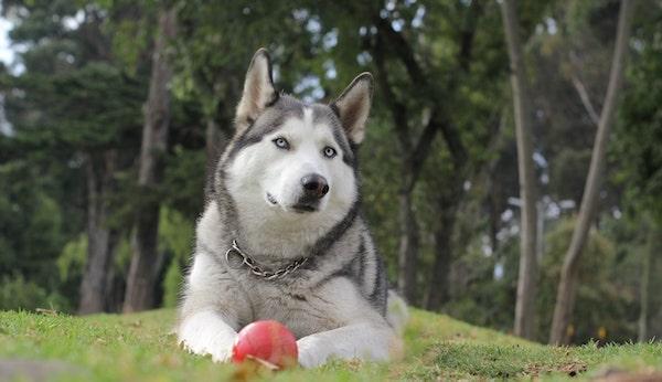 best dog food for Siberian husky-min