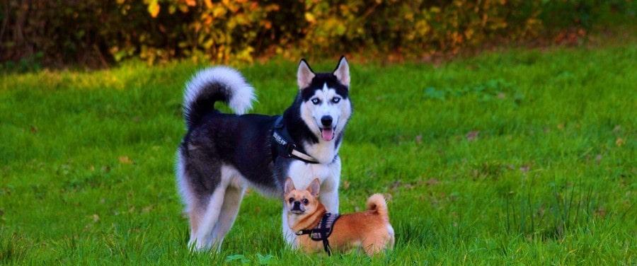 chihuahua dog food-min